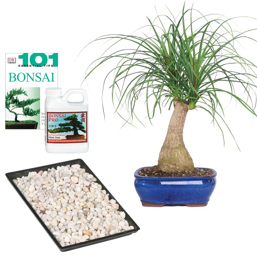 Ponytail Palm Complete Gift - DT7001PTPCG