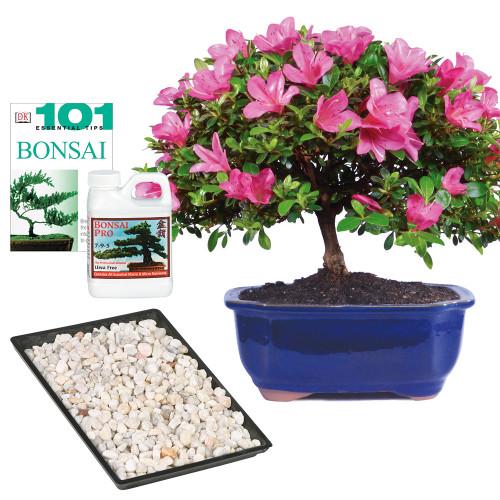 Azalea Bonsai Complete Gift - DT6016AZCG