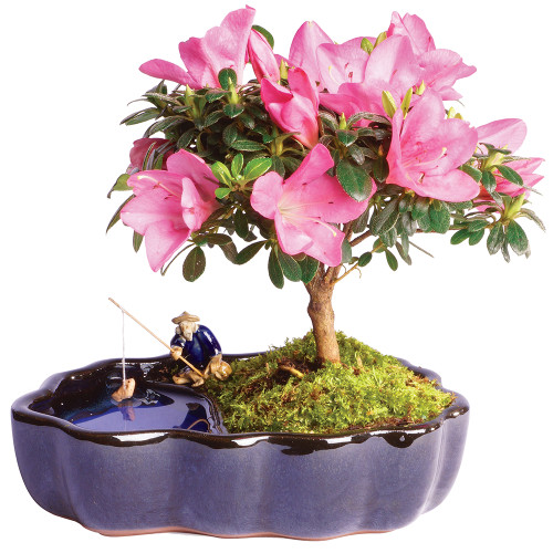 Gardenia Bonsai Care Instructions Sent Guaranteed
