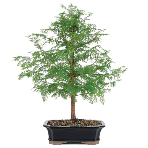 Dawn Redwood - DT2029DR