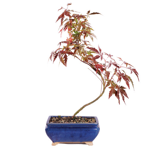 Japanese Red Maple - DT0617JRM
