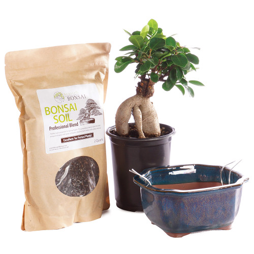 Gensing Grafted Ficus - CTGMF4PIY
