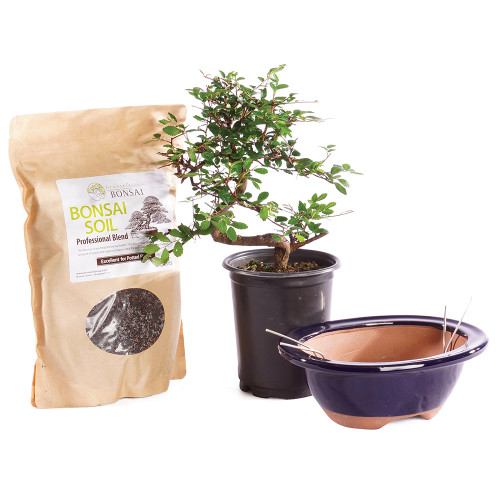 Chinese Elm - CTCE4PIY