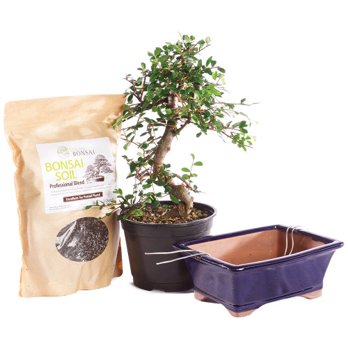 Chinese Elm - CTCE6PIY