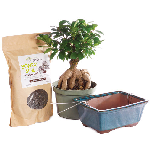 Gensing Grafted Ficus - CTGMF6PIY