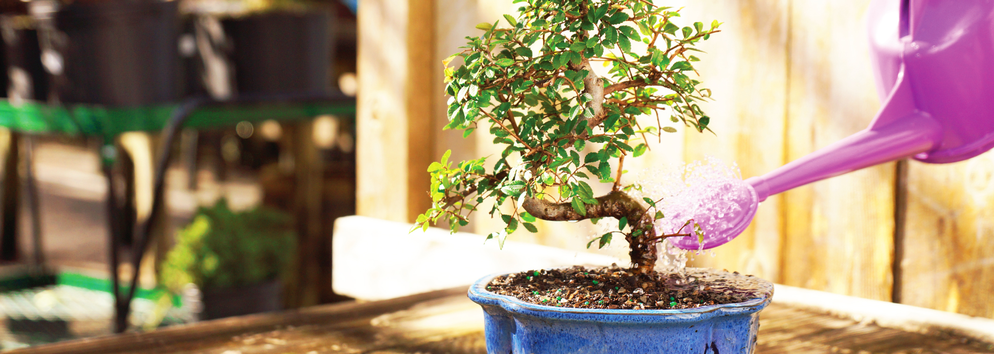 Chinese Elm Bonsai Being Watered
