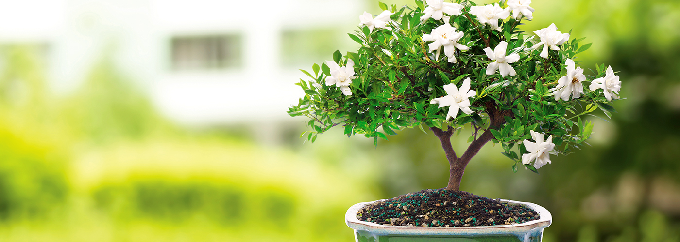 Fragrant Gardenia Bonsai have wonderful white blooms