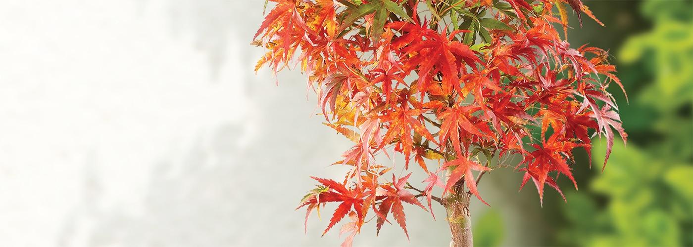 Japanese Maple Bonsai have vibrant fall color