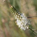 White Prairie Clover via Flickr commercial use: USDA NRCS Montana