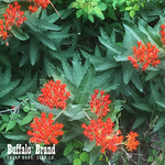 Butterfly Milkweed (Indian Paintbrush)
