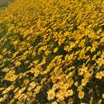 Lanceleaf Coreopsis via flickr commercial use, NCDOTCommunications