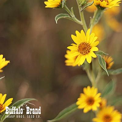 Maximilian Sunflower