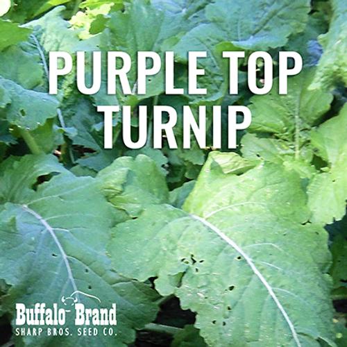 Purple Top Turnip