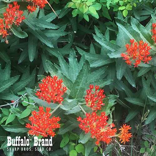 Butterfly Milkweed (Indian Paintbrush)
