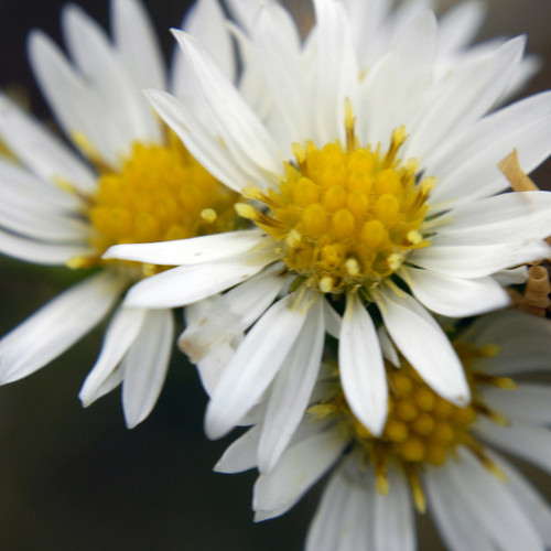 Heath Aster (White)