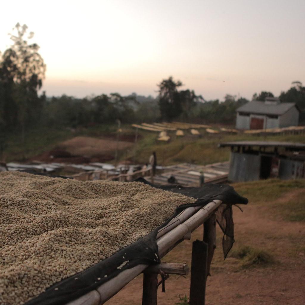 Coffee drying in Sidama, Ethiopia.