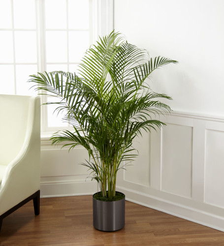 "ThePalm Plant brings natural beauty to any space with its incredible lush foliage. Known for their attractive splayed green leaves, this large plant arrives presented in a round graphite container to make it an ideal fit for any interior décor. 10"" p"