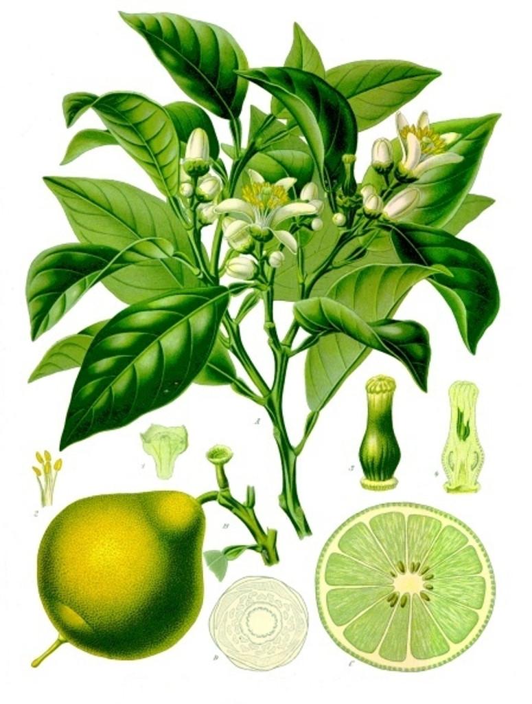 Citrus bergamia botanical drawing