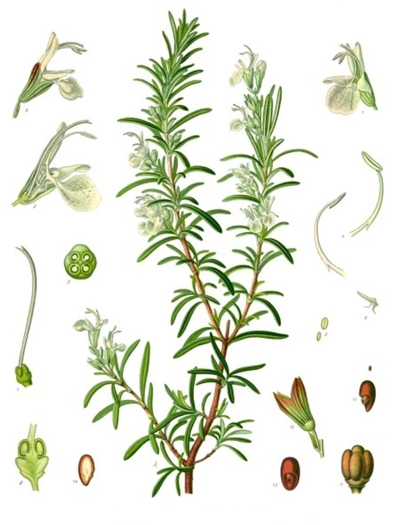Spanish Rosemary Essential Oil, 5 mL