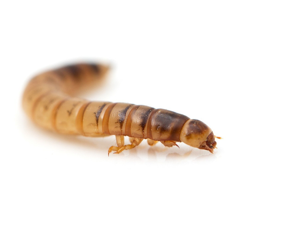 mealworm
