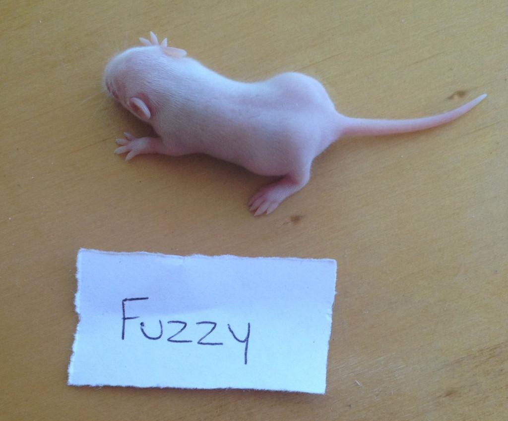Frozen Fuzzy Mice - 10 pack