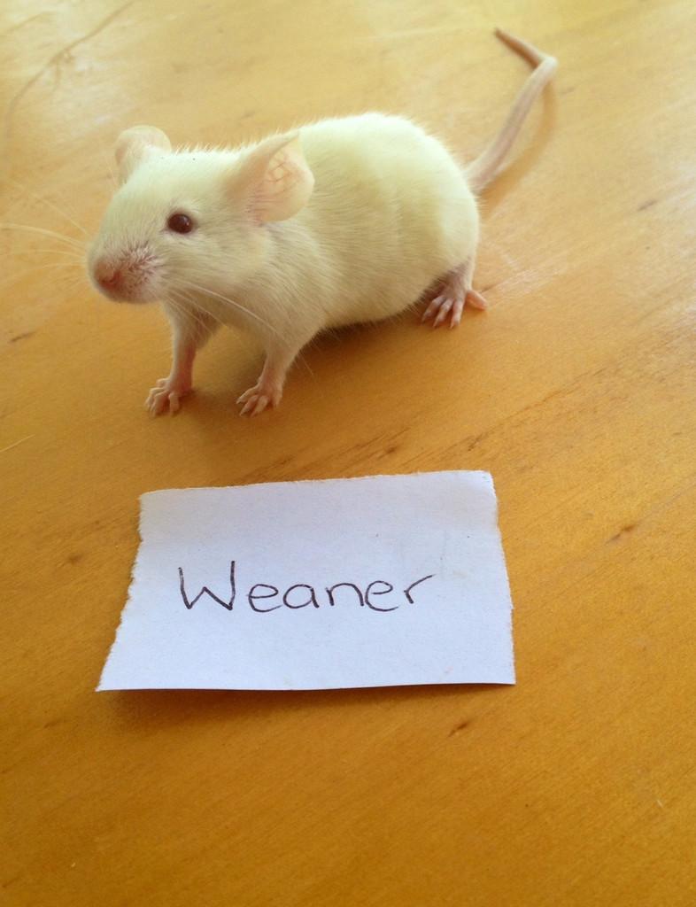 Frozen Mice Weaner - 50 pack
