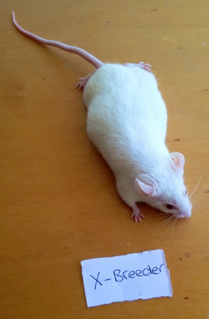 Frozen Mice XL - 50 pack