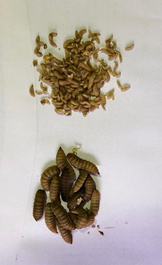 Mini Black Soldier Fly Larvae 10gm