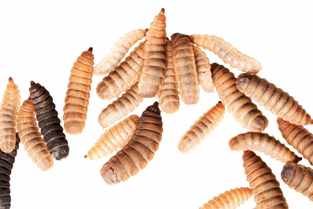 Black Soldier Fly Larvae