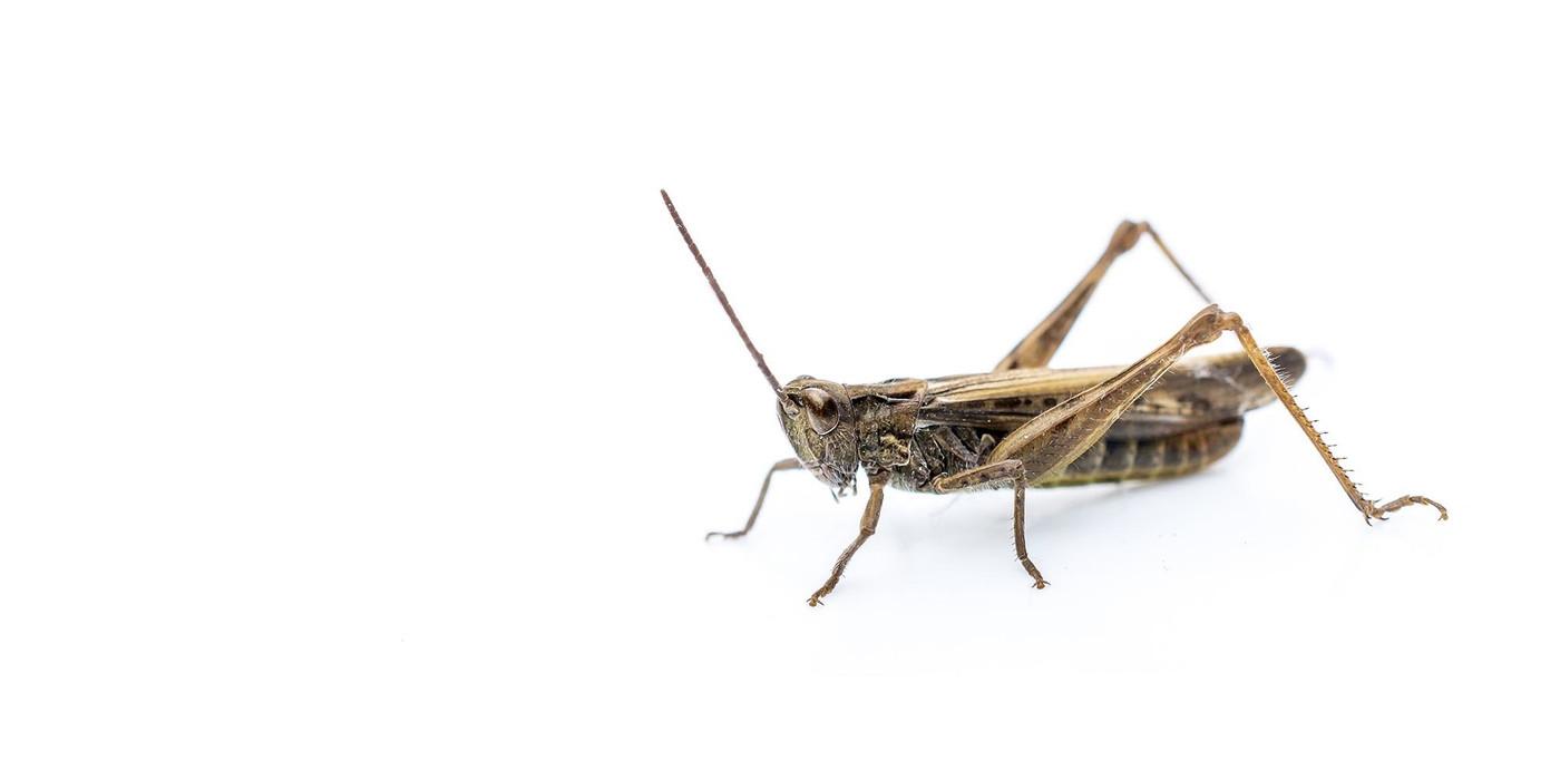 Crickets Large 2.5cm