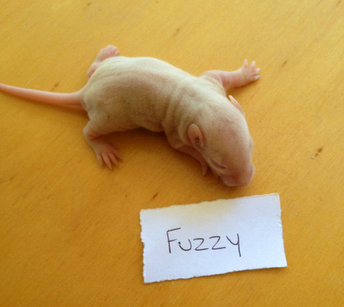 Frozen Fuzzy Rats - 10 pack