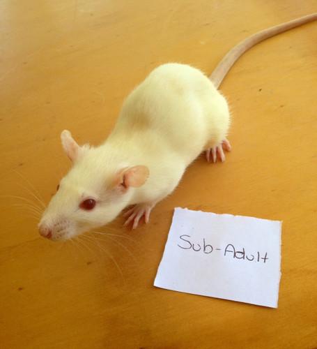 Frozen Sub Adult Rats - 2 pack