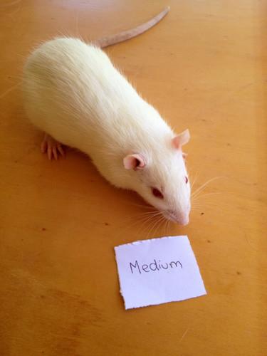 Frozen Medium Rats - 2 pack