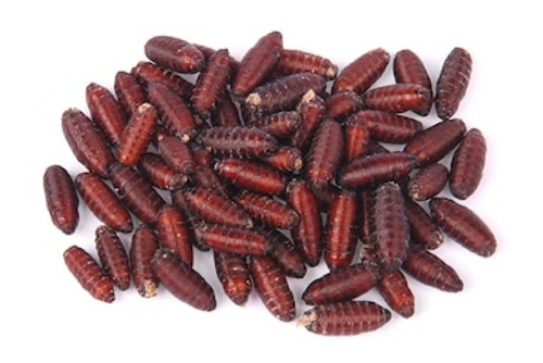 House Fly Pupae