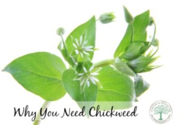 chickweed2.png