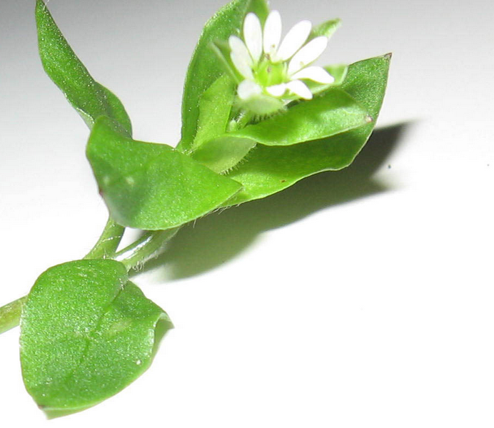 chickweed3.png