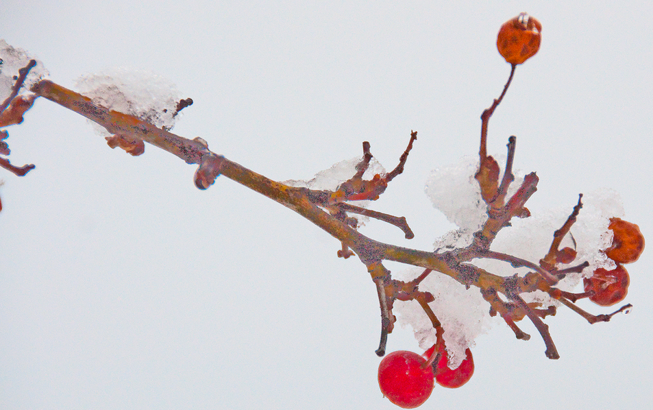 mountain-ash-berries.png