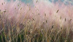 Grasses 9