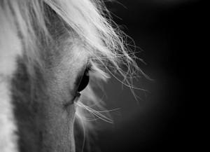 Horse Hafflinger