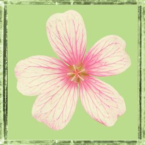 Flower of Yesterday 2