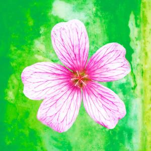 Flower of Yesterday 1