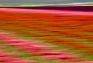 Blurred Flowers I