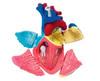 Human Heart - 31pc 4D Human Anatomy Puzzle