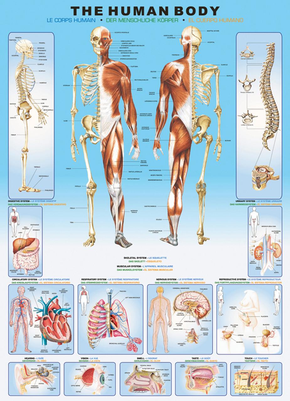 Eurographics Human Body Educational Jigsaw Puzzle | SeriousPuzzles.com