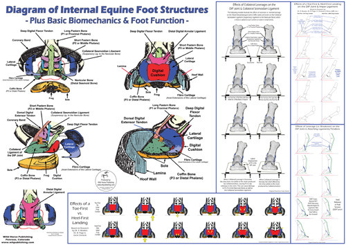 Anatomy & Biomechanics Poster