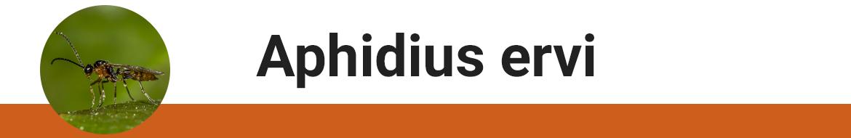 aphidus-ervi.png
