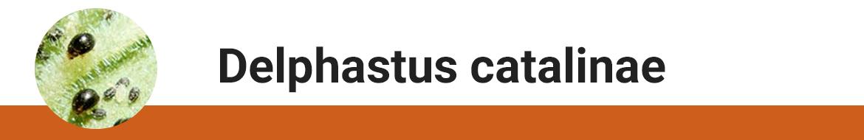 delphastus-catalinae.png