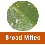 Learn More About Broad Mites