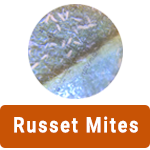 Learn More About Russet Mites