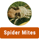 Learn More About Spider Mites